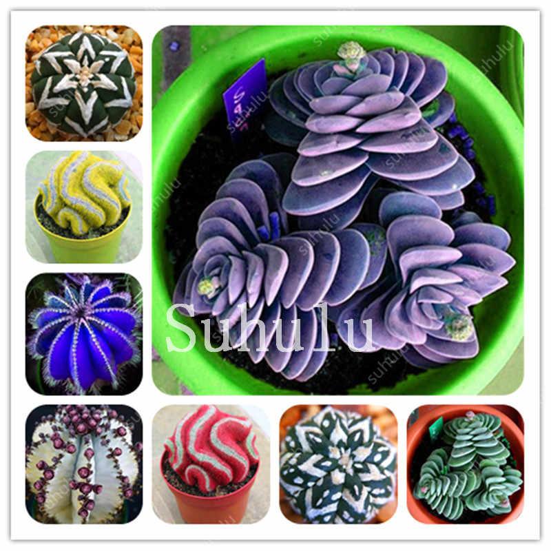 Смесь литопс бонсай 200 шт живые камни сочный кактус органический сад оптом Бонсай завод для внутреннего суккулента 100% натуральный