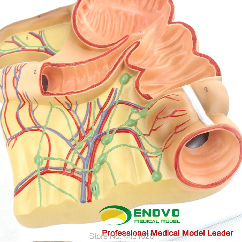 Enovo The Anatomy Model Of Human Body Medicine In The Blind Appendix