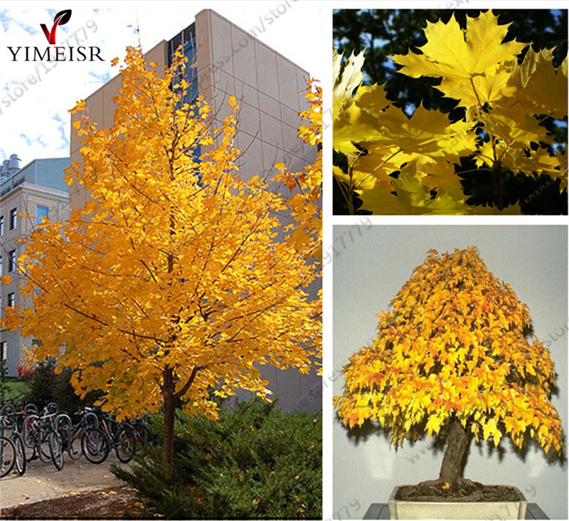 Norway Maple Tree Seeds(ACER platanoides)Rare Maple Seeds Outdoor plant bonsai tree seed Orange to golden yellow in Autumn 5pcs ...