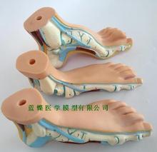 نموذج قدم الإنسان القدم النخيل العضلات نموذج قوس القدم نموذج تشريح القدم