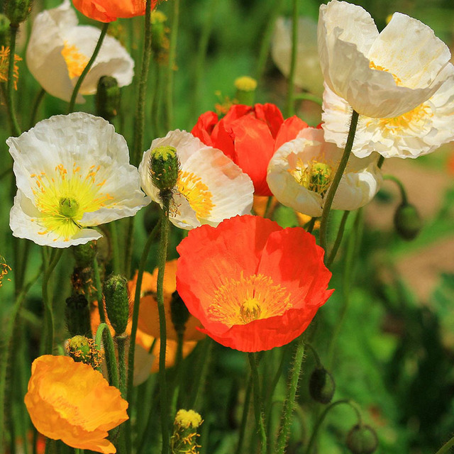 Hot selling iceland poppy mixed colors cut flower seeds diy home hot selling iceland poppy mixed colors cut flower seeds diy home garden plant 200 particles mightylinksfo