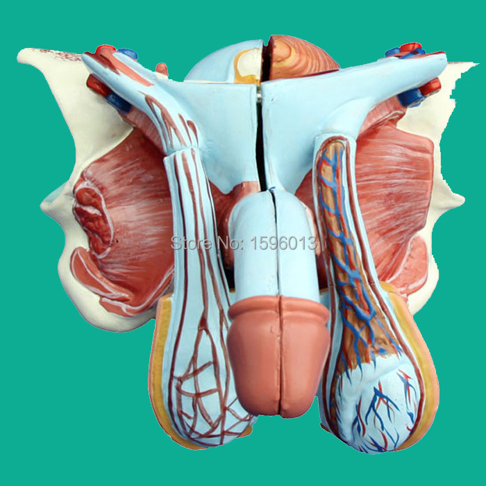 Advanced Male Genital Organ Model 5 parts male genital organs male genitalia anatomical model structure male reproductive organs decomposition model