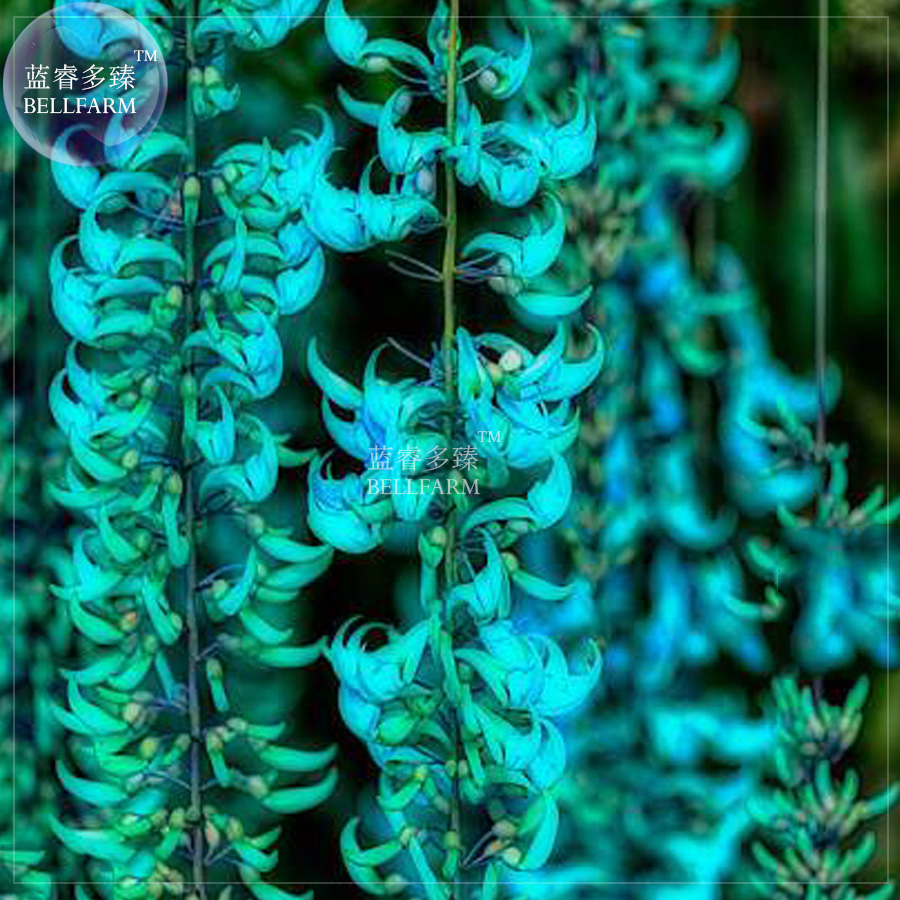 Bellfarm 5pcs mucuna blue perennial climbing hanging flowers seeds bellfarm 5pcs mucuna blue perennial climbing hanging flowers seeds aromatic home garden flowers in bonsai from home garden on aliexpress alibaba izmirmasajfo