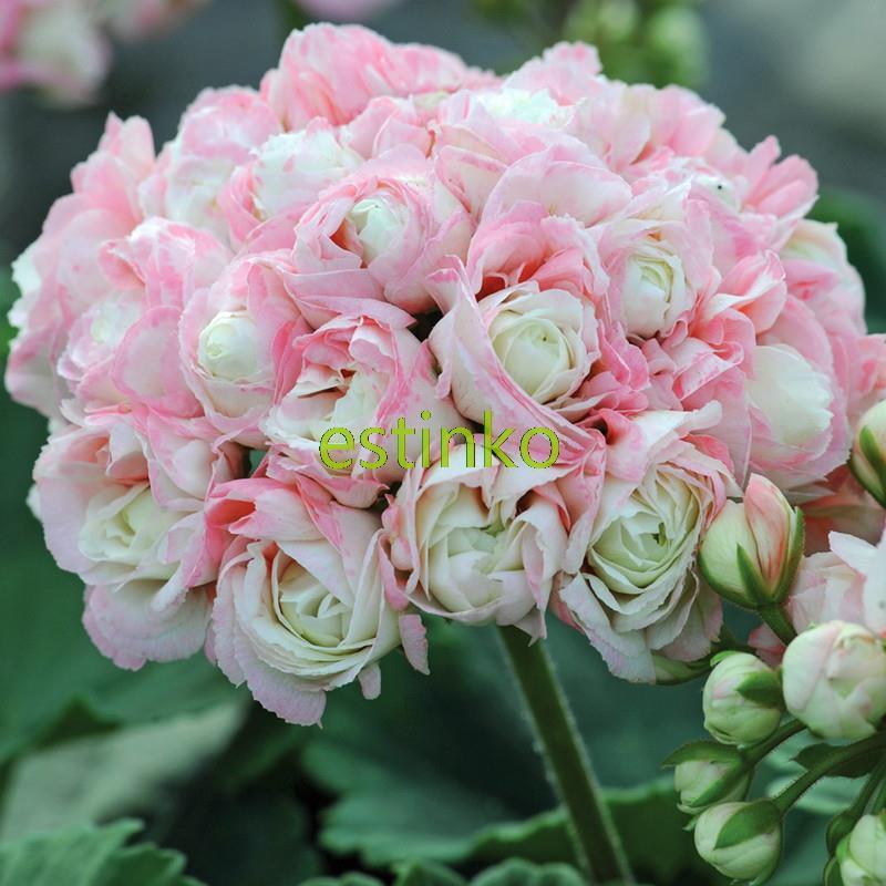 achetez en gros fleurs semences en ligne des grossistes fleurs semences chinois aliexpress. Black Bedroom Furniture Sets. Home Design Ideas