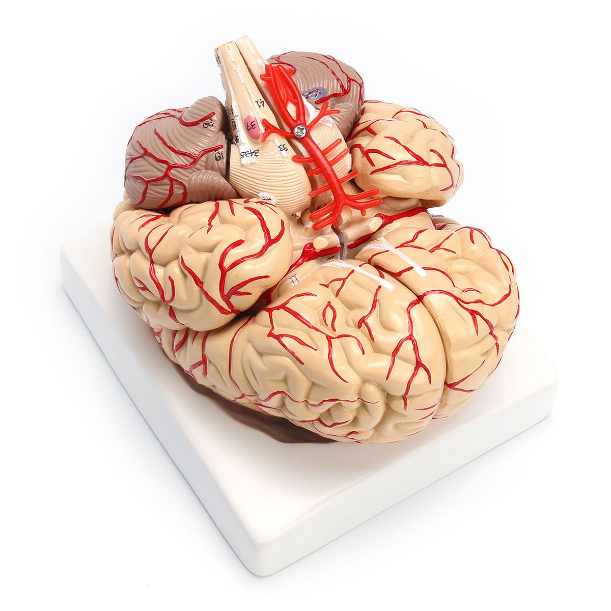 1: 1 Life Size Human Anatomical Brain Pro Dissection Medical Teaching Model|AC/DC Adapters| |  - title=