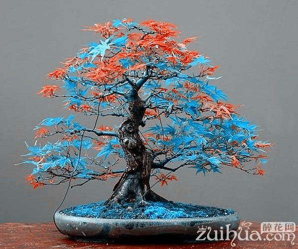 7 Kinds for choose!  20 pcs Rare blue maple Seeds Bonsai Tree Plants Pot Su..