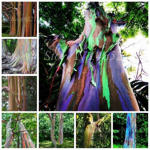 200 pçs/saco Íris Eucalyptus Planta Tropical Árvore Home Decor Bela Planta Árvore Para Jardim Flor Pot Plantio de Eucalipto