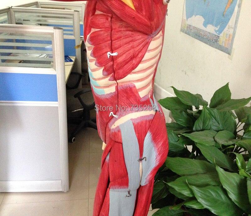 ISO 170 cm Körper Muskeln Anatomisches Modell, Menschlichen ...