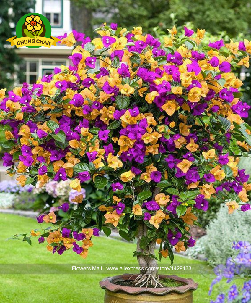 Shrubs with purple flowers pictures - Crepe Myrtle Crape Seed 200pcs Purple Yellow Lagerstroemia Seeds Shrub Lagerstroemia Flower Seeds Bonsai Seed Home