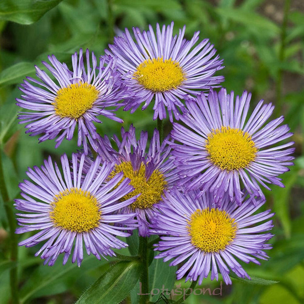 Aliexpress buy long lived perennial 50 alpine aster flower aliexpress buy long lived perennial 50 alpine aster flower seeds bonsai plants diy home a236 from reliable seed bead patterns bracelets suppliers on dhlflorist Image collections