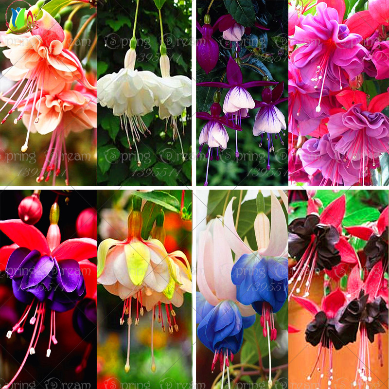 120 seeds /bag Fuchsia seeds lantern flower indoor balcony bonsai seed flower seeds