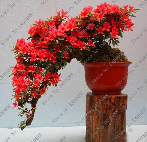 100 pcs / bag Rare Bonsai 23 varieties of azalea DIY home and garden plants with Sakura Japanese flower seeds
