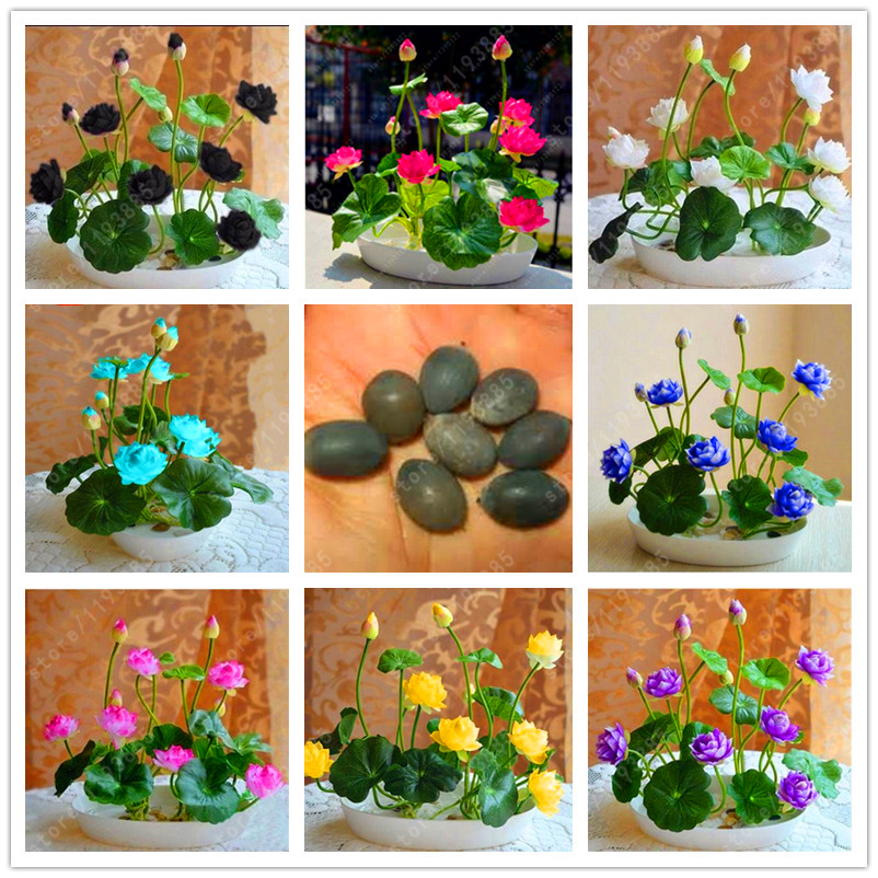 5pcs/pack bowl lotus seed hydroponic plants aquatic plants flower seeds pot water lily seeds Bonsai Garden