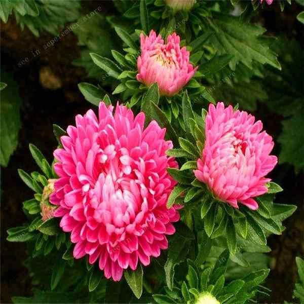 حار بيع! 100 قطعة/packChinese أستر بونساي (Callistephus) تعطيك حديقة مليئة مشرق الصيف زهور كبيرة شحن مجاني