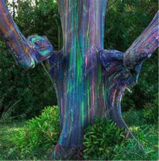 100 قطعة/قوس قزح الكافور بونساي الاستوائية شجرة Plantas المنزل الديكور جميلة حديقة مصنع قوس قزح الكافور شجرة