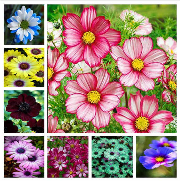 100 pieces/bag Heirloom Cosmos Bipinnatus outdoor and indoor bonsai potted chrysanthemum flower plant planting plant rapid growt