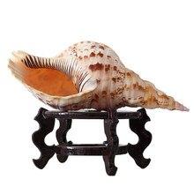 23-25 см Натуральная раковина раковины большое украшение дома труба Тритон Аквариум Ландшафтный дизайн