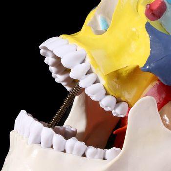 Vida Tamanho Colorido Crânio Humano Modelo Anatômico Anatomia Médica Ensino Esqueleto Cabeça Estudando Fontes de Ensino