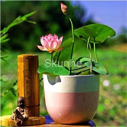 Lotus Plant Root