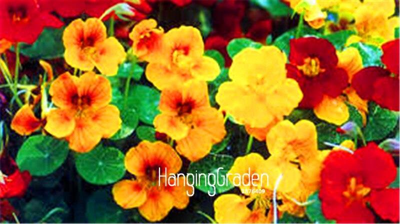 100 Pcs Beaucoup Nouvelle Arrivée Capucine Flores Annuel Fleur