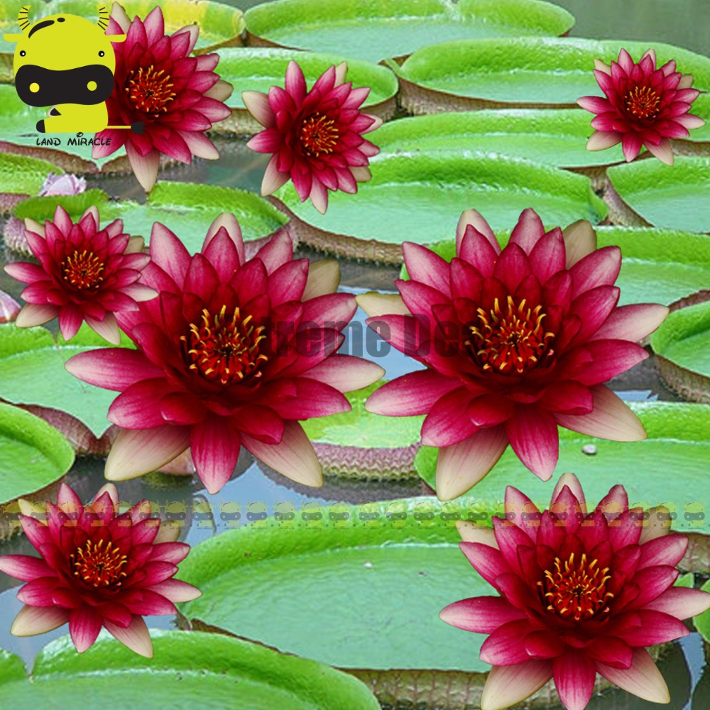 Aliexpress buy fresh seeds dark red water lily flower seeds 5 aliexpress buy fresh seeds dark red water lily flower seeds 5 seedpack heirloom garden flowers plant bonsai from reliable plant bonsai suppliers on izmirmasajfo