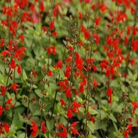 300 pcs/Bag Salvia Coccinea Seeds  Scarlet Sage  Flower Sementes DIY Home Balcony Bonsai Houseplant