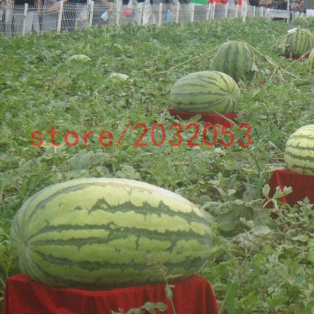 Berühmt Bonsai obst 30 RIESEN wassermelone Darunok obst und gemüse für #BH_04