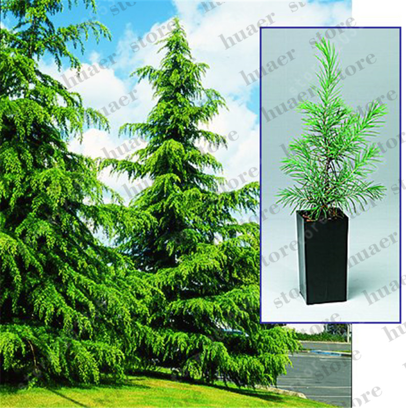 100 Pcs/Bag Sacred Japanese Cedar Bonsai Ornamental Tree For Home Garden