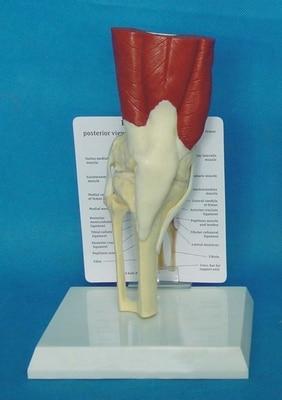 Human knee muscle model bone skeleton model free shopping skeleton unassembled bone collection with muscle markings