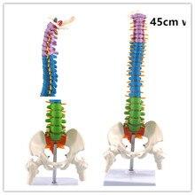 45 см с тазовой анатомической анатомией человека позвоночника медицинская модель спинальной колонки учебные материалы для студентов-медиков