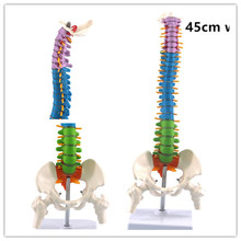 лучшая цена 45CM with Pelvic Human Anatomical Anatomy Spine Medical spinal column model Teaching Resources for medical students