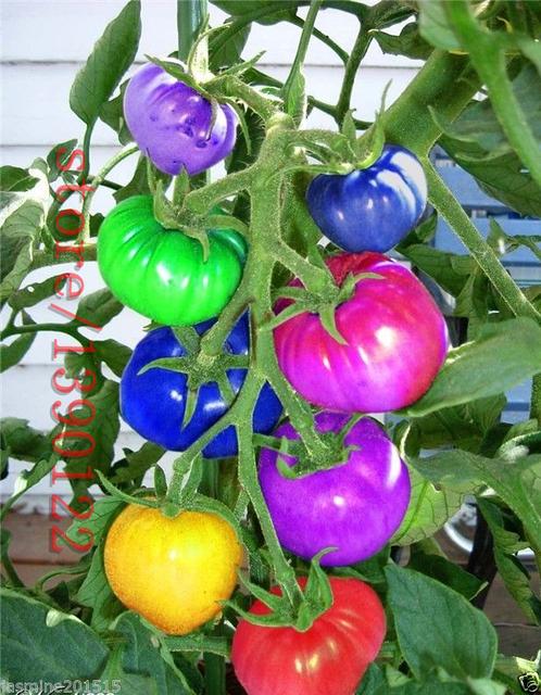 100 cái/túi cầu vồng hạt giống cà chua, hiếm hạt giống cà chua, bonsai organic rau và trái cây hạt giống, chậu cây cho nhà & vườn