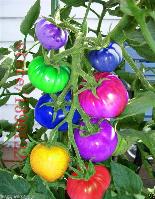 100pcs/bag rainbow tomato seeds, rare tomato seeds, bonsai organic vegetable & fruit seeds, potted plant for home &garden