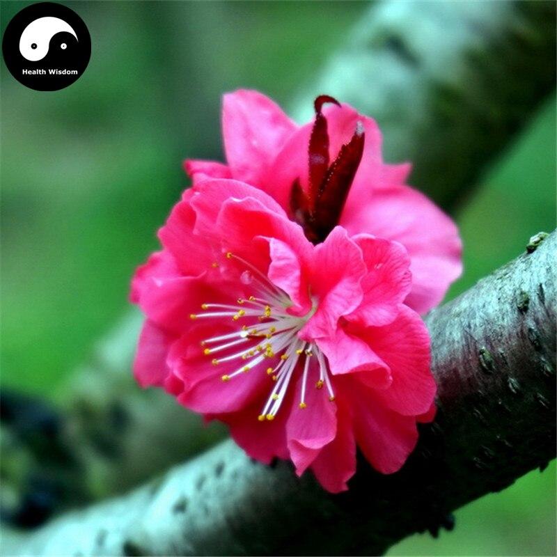 30 Pcs Prunus Mume Seeds Winter Sweet Tree Red Flower La Mei Rare Plants Garden