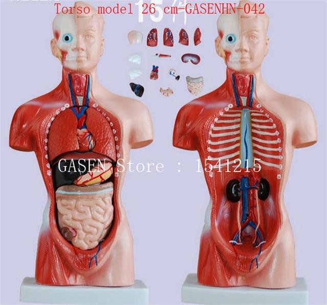 Visceral anatomy male Female torso Anatomical model chest abdomen ...