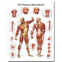 Human Anatomy Muscles System Art Silk Cloth Poster Print 24x32 32x43 Inch Body Map Pictures For