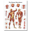 Human Anatomy Muscles System Art Silk Cloth Poster Print 24x32 32x43 inch Body Map Pictures for Medical Education 012