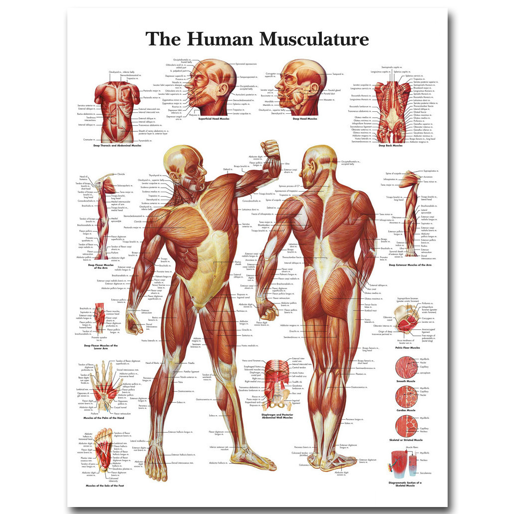 Menschlichen Anatomie Muskeln System Art Silk Tuch Plakat-druck ...