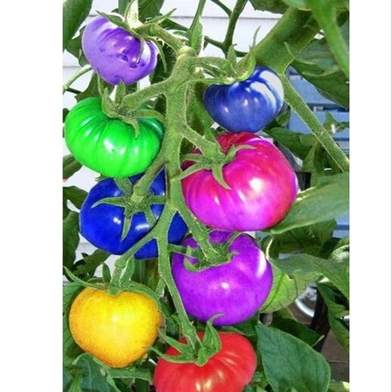 Помидоры Радуга гибридные семена 50штук фото