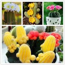 10000pcs/bag mixture of cactus flores Succulents mini bonsai plant flower plantas Indoor Perennial for home garden