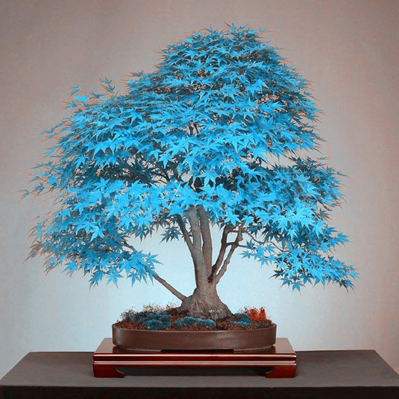 20 Psc Blue Maple Tree Seeds Bonsai Tree Seeds Rare Yellow Red Japanese Maple Seed Balcony Plants For Home Garden Flower