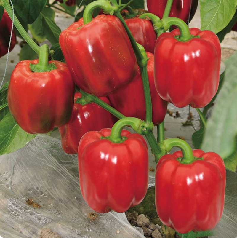 100 Stücke Trinidad moruga Skorpion Samen heißesten Pfeffer Gemüse Paprika chinense