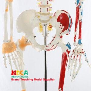 Image 4 - 170 CENTIMETRI Scheletrico Umano Modello Neuromuscolare di Avviamento e Arresto Colorato Legamento Scheletro di Yoga di Insegnamento Medico MGG301