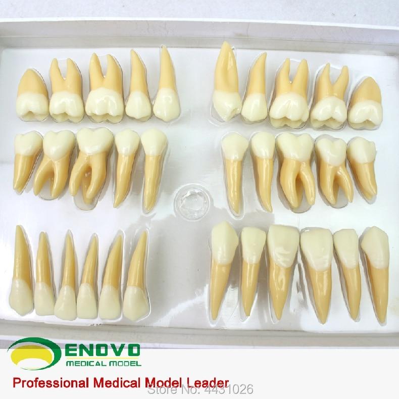 ENOVO Dental model prosthesis carvings of teeth teeth model blue dental orthodontics communication model with 4 types of brackets