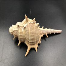 Size about 10cm 1pcs  Natural seashell Craft decorination toys big natural conch DIY craft decor