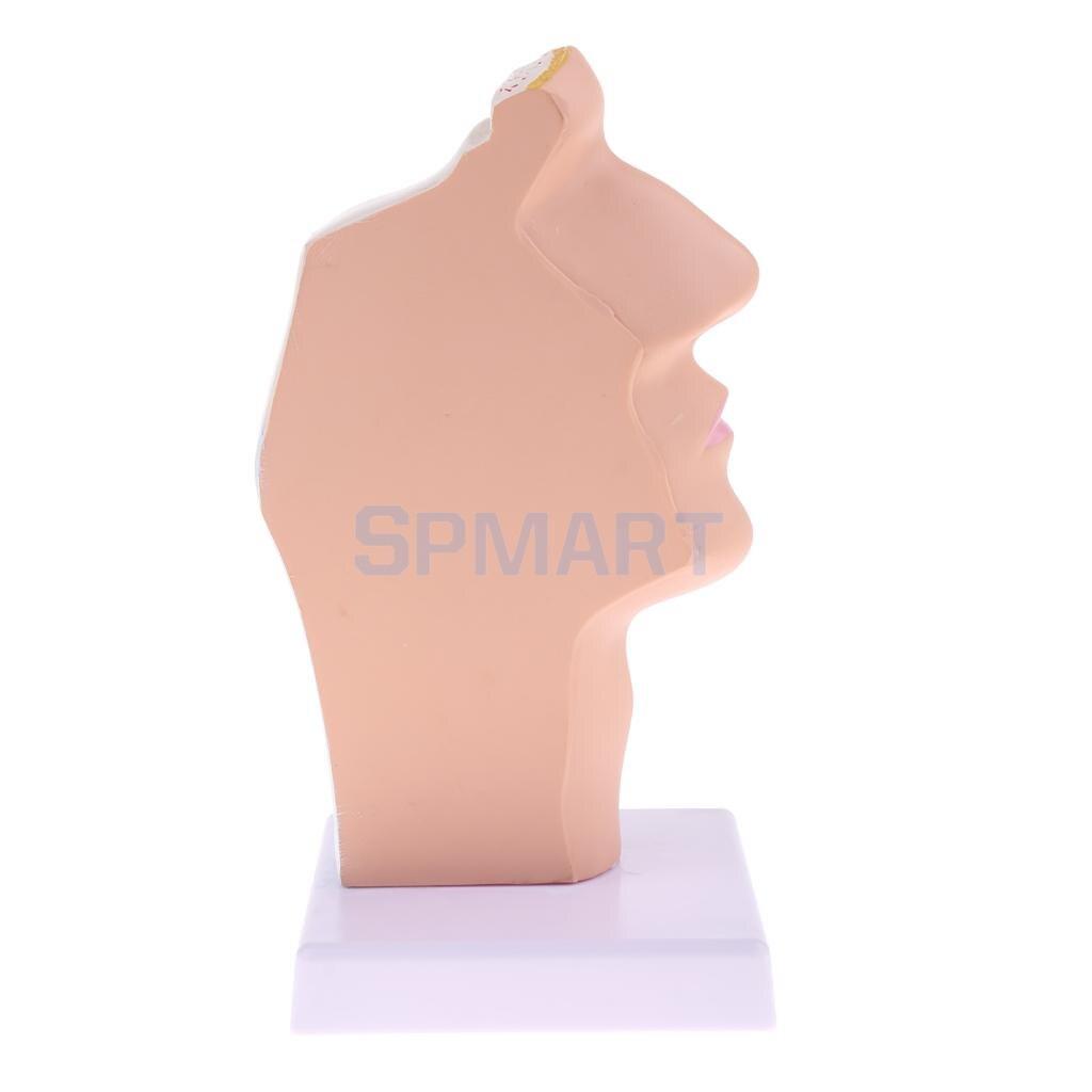 1:1 Human Nasal Oral Laryngopharyngeal Cavity Anatomy Model Medical Study Kit School Teaching Display Lab Ornament