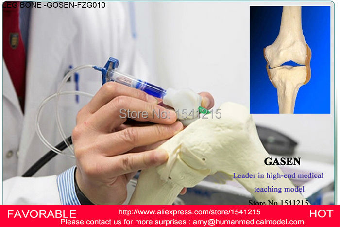 LIFE SIZE MEDICAL HUMAN FEMUR AND TIBIA ANATOMICAL SKELETON MODEL,HUMAN SKELETON AND TIBIA MODEL WITH JOINT-GASEN-FZG010 1 2 life size knee joint anatomical model skeleton human medical anatomy for medical science teaching