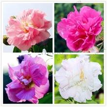 Buy  nial Flower seeds for home garden planting  online