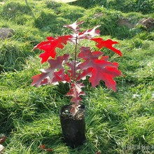 30pcs Red Oak Quercus Tree Bonsai Seeds Alba Acorns