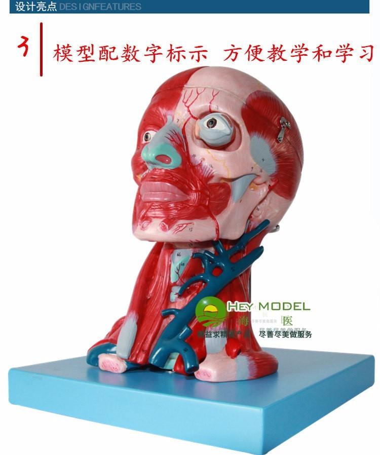 Kopf und hals muscle Arterie Befestigt brain modell Kopf und ...